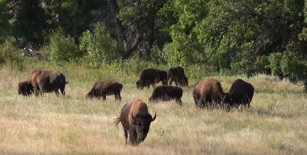 Buffalo-at-Custer-State-Park-Web